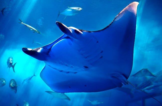 Closeup of a manta ray Photo by: Ken FUNAKOSHI https://creativecommons.org/licenses/by-sa/2.0/