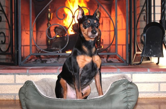 Miniature Pinscher posing in front of the fire