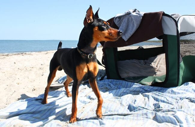 Black and tan Miniature Pinscher at the beachPhoto by: Leonardo Dasilvahttps://creativecommons.org/licenses/by/2.0/
