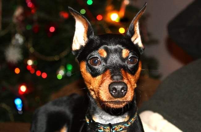 Christmas portrait of a Miniature Pinscher Photo by: Leonardo Dasilva https://creativecommons.org/licenses/by/2.0/