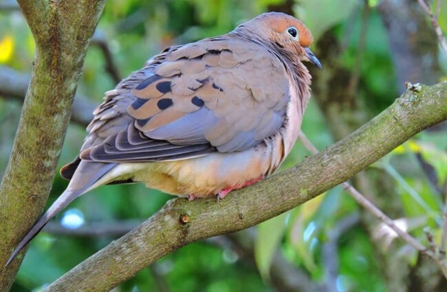 Morning dove on a tree branch