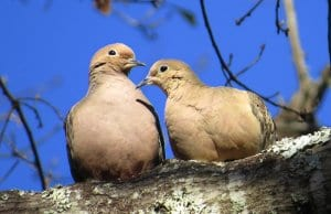 A pair of mourning doves on a fall afternoonPhoto by: patricia piercehttps://creativecommons.org/licenses/by/2.0/