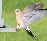 Mourning Dove Landing On A Bird Feeder Photo By: Robert Taylor Https://creativecommons.org/licenses/by/2.0/