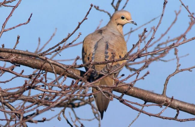 Mourning dove on a spring-budded tree branch