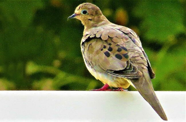 Mourning dove, photographed in Massapequa, New York Photo by: John Wisniewski https://creativecommons.org/licenses/by/2.0/