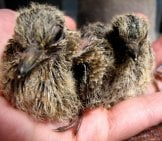 Mourning Dove Chicks Being Cared For At A Preserve Photo By: Audrey Https://creativecommons.org/licenses/by/2.0/