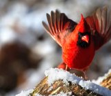 Closeup Of A Beautiful Northern Cardinal In Winter