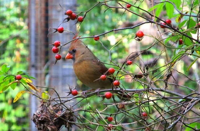 Female Northern Cardinal harvesting berries