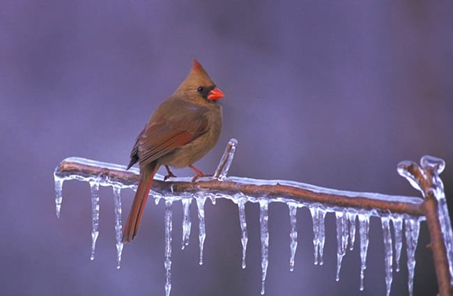 Female Northern Cardinal roosted on an ice-covered branch