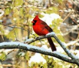 Bright Male Northern Cardinal On A Snowy Tree Branch