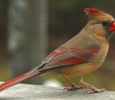 Female Northern Cardinal - Notice Her Darker Plumage