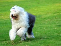 Old English Sheepdog running through the yard
