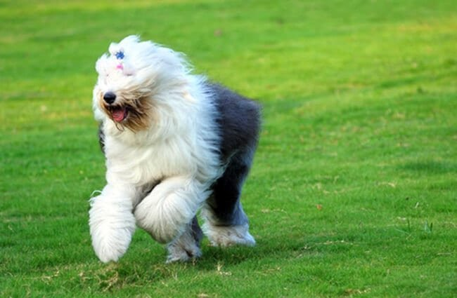 Old English Sheepdog running through the yard Photo by: (c) raywoo www.fotosearch.com