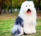 Portrait Of An Old English Sheepdog Photo By: (C) Raywoo Www.fotosearch.com