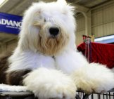 Old English Sheepdog Groomed For Showphoto By: Chris Phutullyhttps://creativecommons.org/licenses/by/2.0/