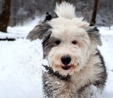 Old English Sheepdog, Face Trimmed, Playing In The Snow Photo By: Norlando Pobre Https://creativecommons.org/licenses/by/2.0/