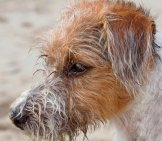 Rough-Coated Parson Russel Terrier At The Beach