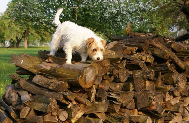 Parson Russel Terrier hunting for critters in the wood pile
