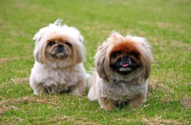 A pair of Pekingese pups in the yard