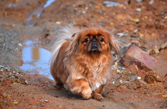 Pekingese playing outdoors