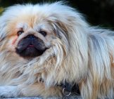Portrait Of A Lovely Pekingese - Notice His Lion Mane