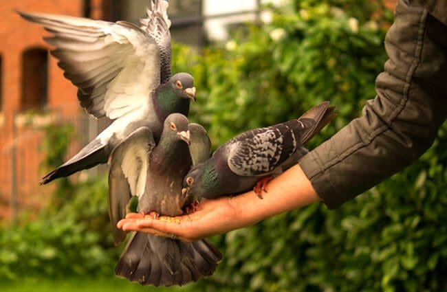 Pigeons being hand-fed in the park