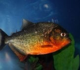 Red Bellied Piranha
