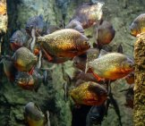 School Of Piranha In An Aquarium