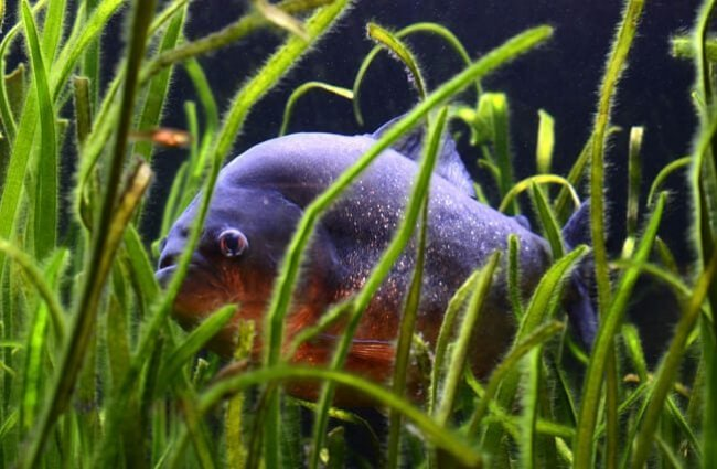 Piranha hiding in the grass