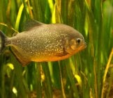 Single Piranha In The Water Vegetation