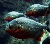 School Of Piranha