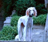 White Saluki On The Terrace Photo By: Meteo Https://creativecommons.org/licenses/by/2.0/