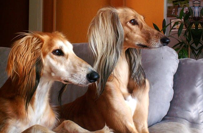 A pair of tan and white Saluki on the sofa Photo by: Nici https://creativecommons.org/licenses/by/2.0/