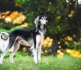 Proud Black And Silver Saluki Posing In The Park