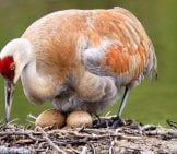 Sandhill Crane Incubating Her Eggs Photo By: Nigel Https://creativecommons.org/licenses/by-Sa/2.0/