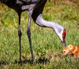 Sandhill Crane Feeding Her Chicks Photo By: Pete G Https://creativecommons.org/licenses/by-Sa/2.0/