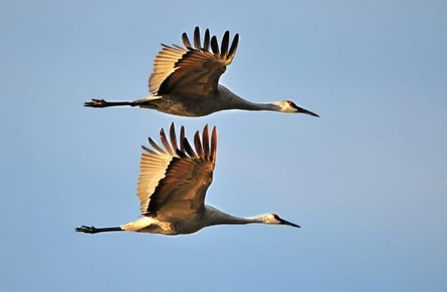 Sandhill Cranes in migratory flight