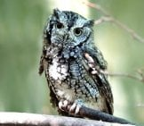 Screech Owl On A Branch