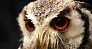 Large eyes of a Screech Owl