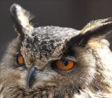 Closeup Of A Screech Owl