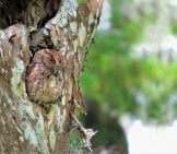 Screech Owl Camouflaged In A Tree