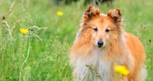 Portrait of a sable Sheltie (Shetland Sheepdog) in a spring field
