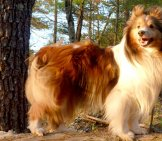 Shetland Sheepdog In The Forest Photo By: Paul Morris Https://Creativecommons.org/Licenses/By-Sa/2.0/