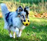 Blue Merle Shetland Sheepdog Playing Ball In The Yard
