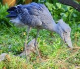 Shoebill Stork Foraging For Food Photo By: Jean //creativecommons.org/licenses/by/2.0/