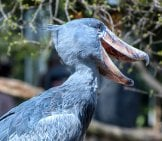 Notice The Shoebill Stork's Unusual Bill Photo By: Jin Kemoole Https://creativecommons.org/licenses/by/2.0/