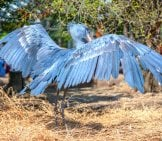 Shoebill Stork With Wings Spread Photo By: Jin Kemoole Https://creativecommons.org/licenses/by/2.0/