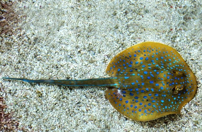 Long tail of the yellow spotted stingray