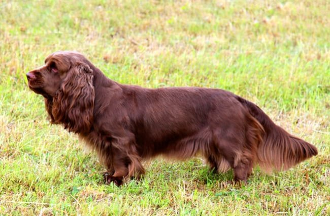 Portrait of a Sussex Spaniel Photo by: (c) CaptureLight www.fotosearch.com