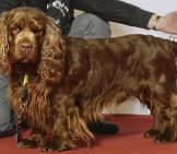 Beautiful Champion Sussex Spaniel Posing After The Showphoto By: Svenska Mässanhttps://creativecommons.org/licenses/by/2.0/